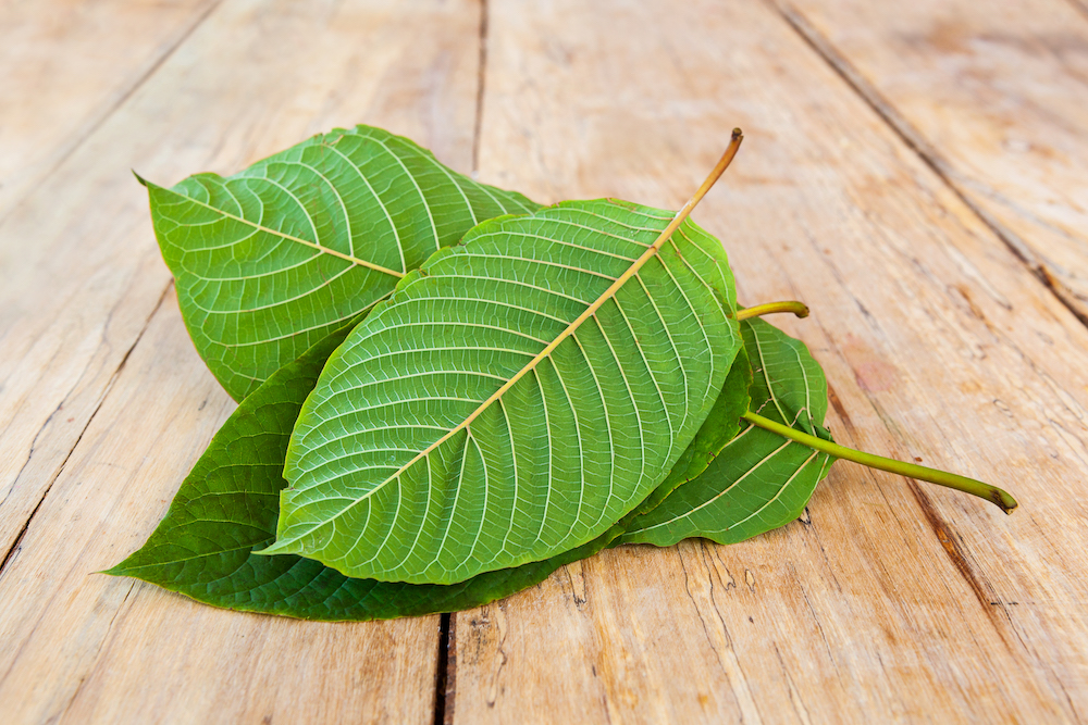 Image of fresh Kratom leaves for the Kratom Buying Guide.